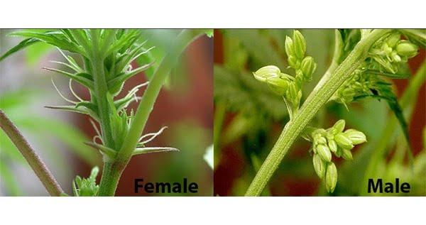 Male-vs-female-plant