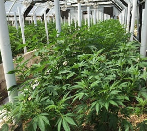 Maximizing your cannabis greenhouse setup 1
