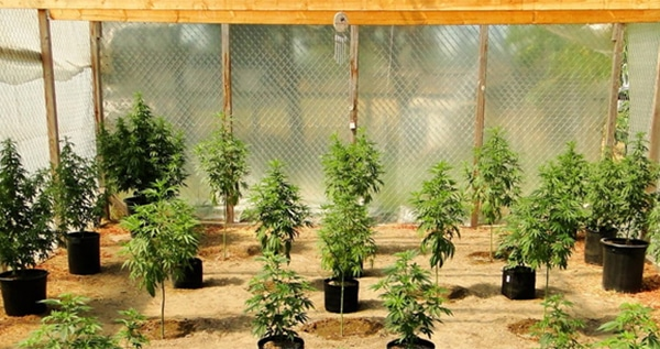 Growing Marijuana In A Greenhouse: The Definitive Guide - ILGM