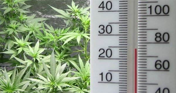 The ideal marijuana growing temperature