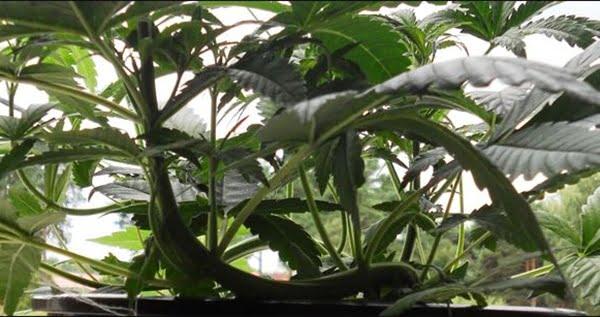 lst pre-flowering cannabis