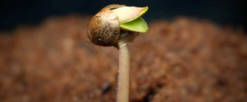 How do I germinate marijuana seeds?