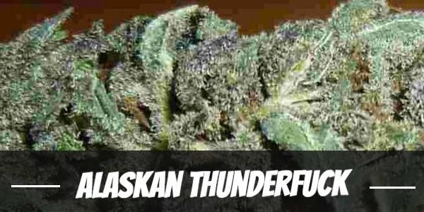 Alaskan Thunderfuck Strain