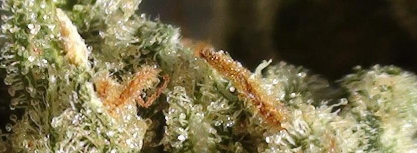 Amnesia Haze Strain Review - I Love Growing Marijuana