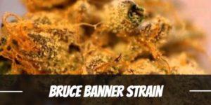 Bruce Banner Strain