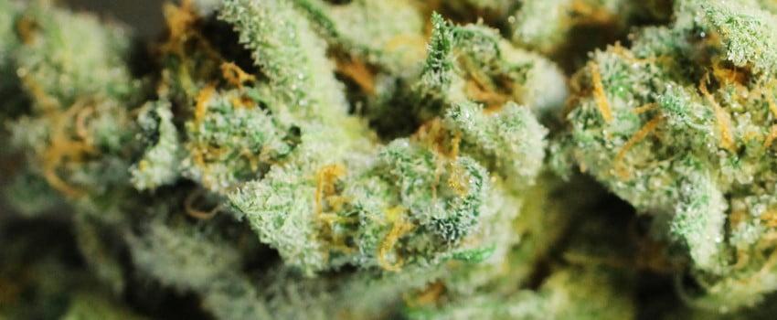 Chernobyl Strain Review - I Love Growing Marijuana