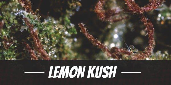 Lemon Kush Strain