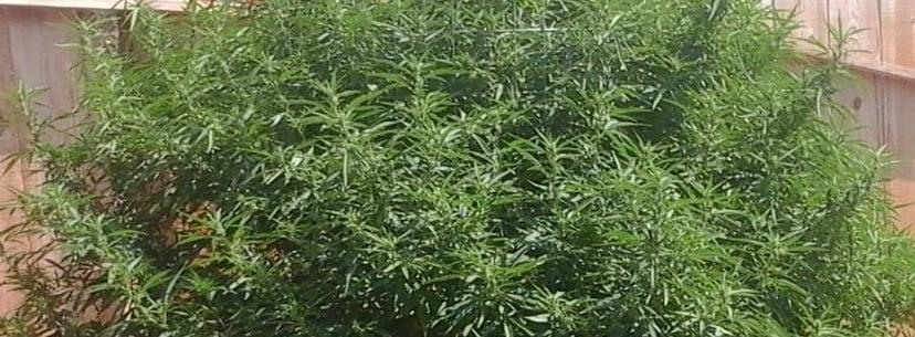 Mango Kush Growing