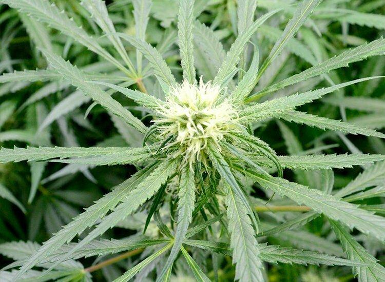 Growing Schedule For Hydroponics I Love Growing Marijuana