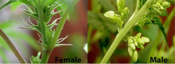 Male vs Female buds