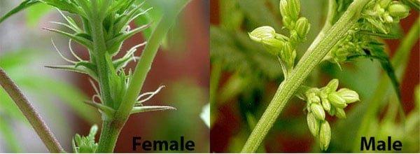Male vs Female buds