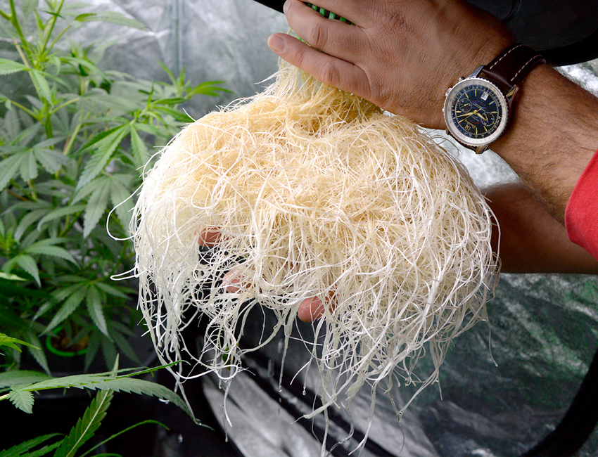 healthy hydro roots