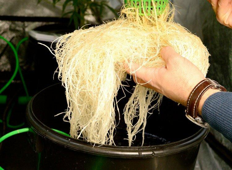 Roots hydro week 2 flowering