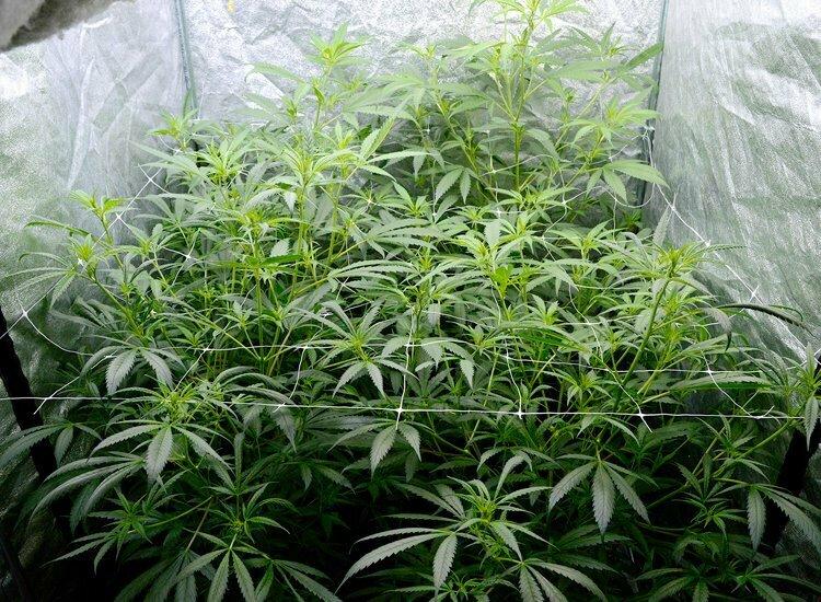 Grow schedule hydro indoor