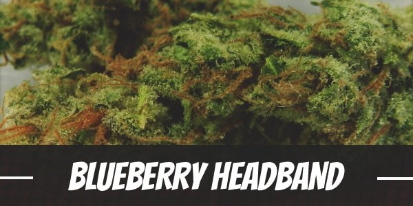Blueberry Headband Strain