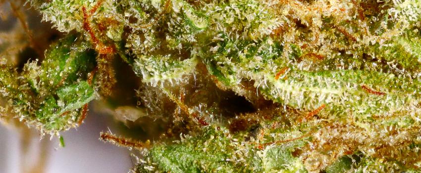 Bubblegum Kush Strain Review - I Love Growing Marijuana