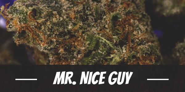 Mr. Nice guy Strain