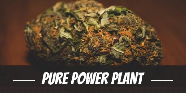 Pure Power Plant Strain