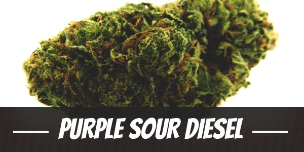 Purple Sour Diesel Strain