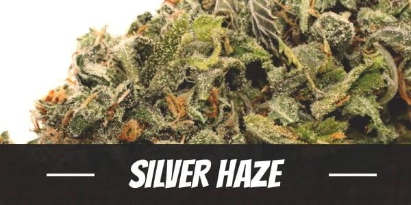 Silver Haze Strain