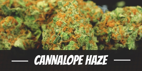 Cannalope Haze Strain Review I Love Growing Marijuana Sweet haze strain may not be the most potent, yet it makes up for it with a beautiful bud structure and smooth inhale. cannalope haze strain review i love