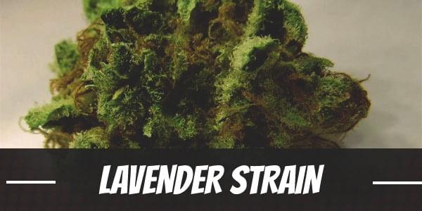 Lavender Strain