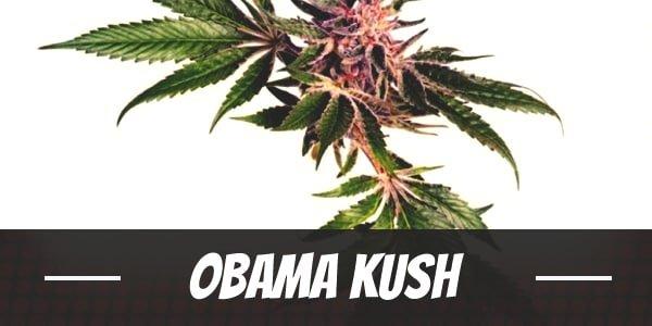 Obama Kush Strain