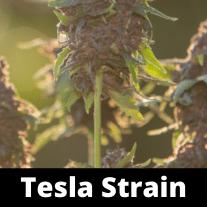 Tesla-Strain