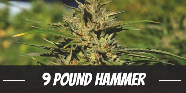 9 Pound Hammer Strain