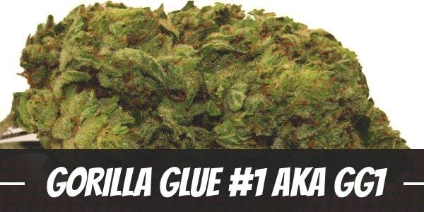 Gorilla Glue #1 aka GG1 Strain