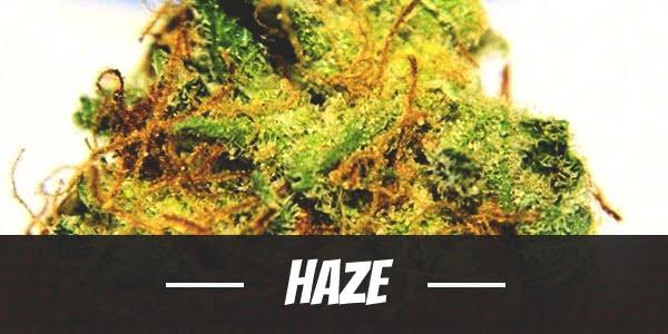 Haze Strain