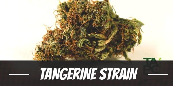 Tangerine Strain
