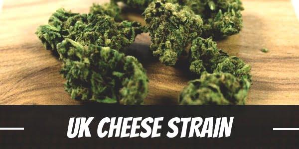 UK Cheese Strain