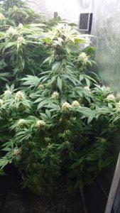 flowering and vegetative