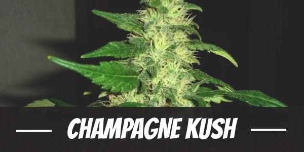 Champagne Kush Strain