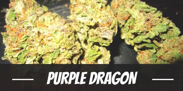 Purple Dragon Strain