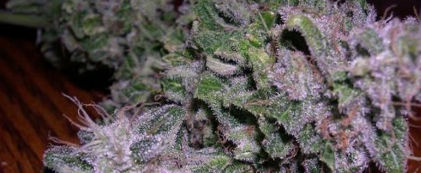 Purple Alien OG Strain Review - I Love Growing Marijuana