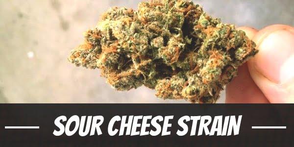 Sour Cheese Strain