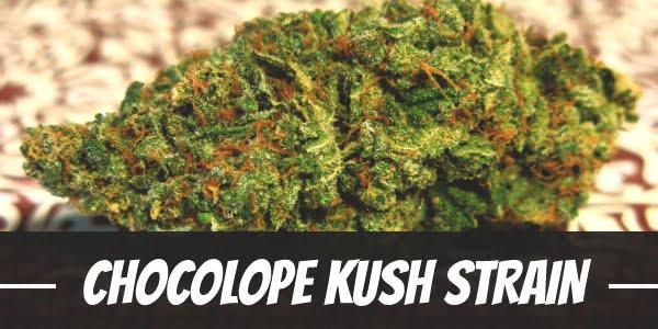Chocolope Kush Strain