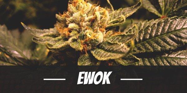 Ewok strain