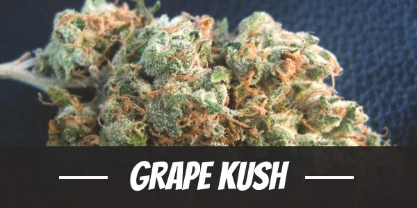Grape Kush Strain
