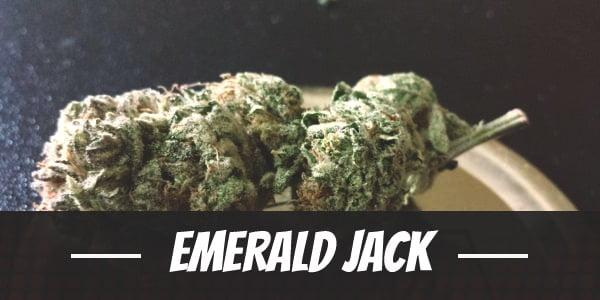 Emerald Jack Strain