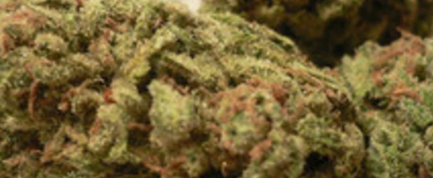 Ice Cream Strain Review - I Love Growing Marijuana