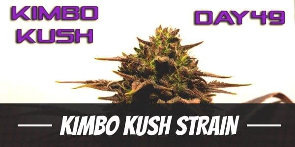 Kimbo Kush Strain