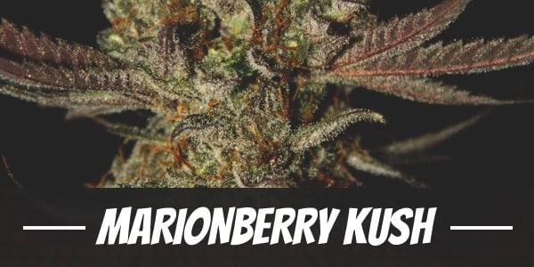 Marionberry Kush Strain