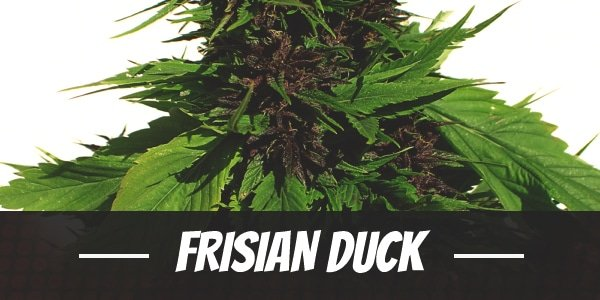 Frisian Duck Strain