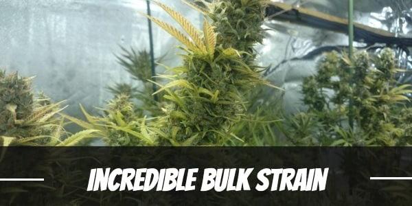 Incredible Bulk Strain