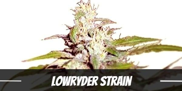 Lowryder Strain