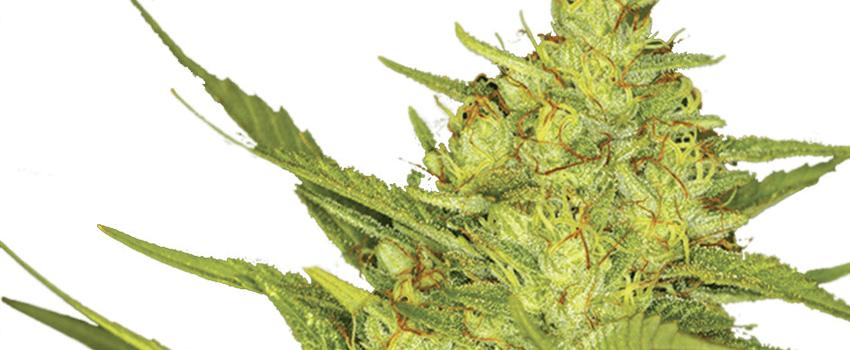 Best Marijuana Strains to Grow - I Love Growing Marijuana