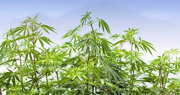 Reward Of Growing Marijuana Outdoors